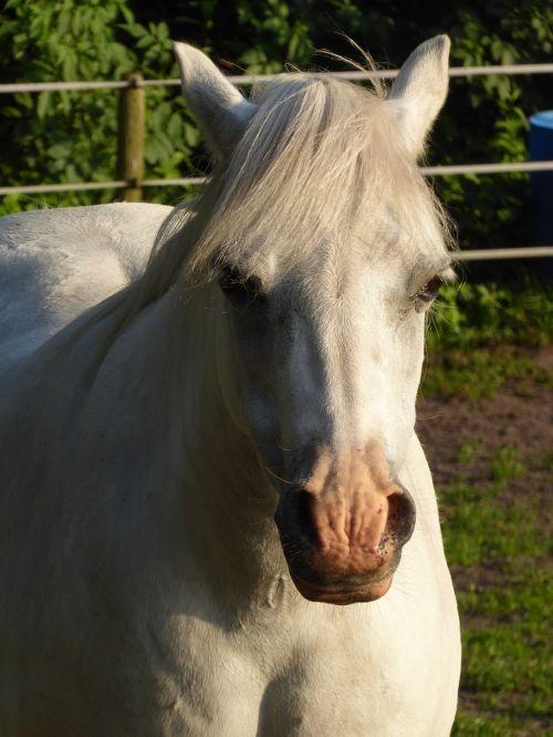 welsh pony mare sun