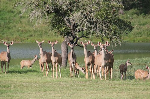 west texas kudu  texas deer  texas wildlife