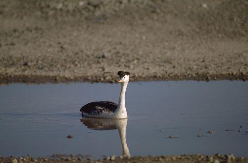 western grebe swimming bird