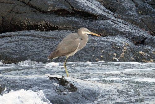 western reef egret bird western reef heron
