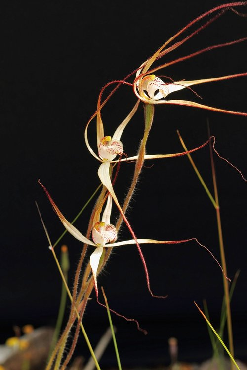 western wispy spider orchid  orchids  wildflowers