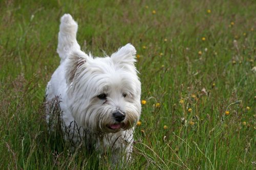 westie dog west highland white terrier