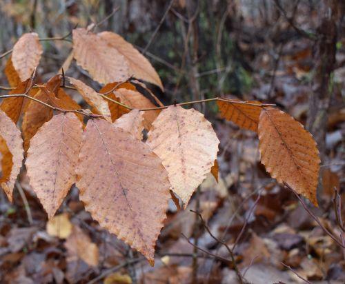 wet beech leaves beech tree