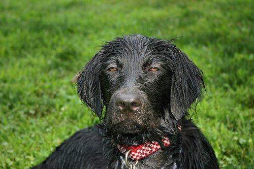 wet dog  flat coated retriever  wet puppy