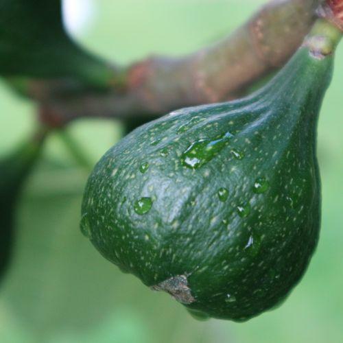 Wet Fig
