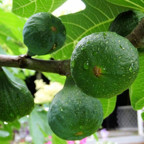 Wet Figs