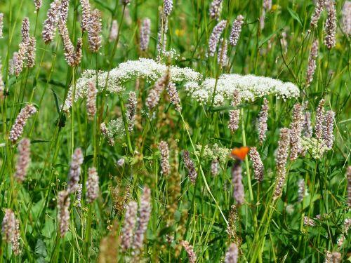 wet meadow meadow snakes knotweed