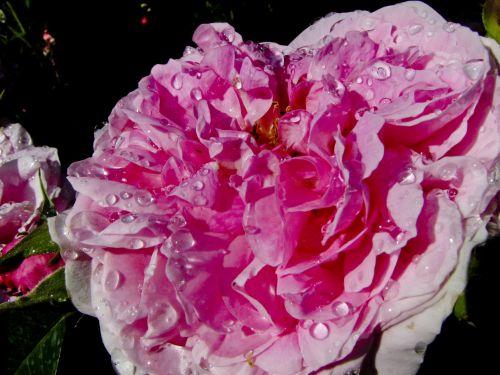 Wet Rose Droplets