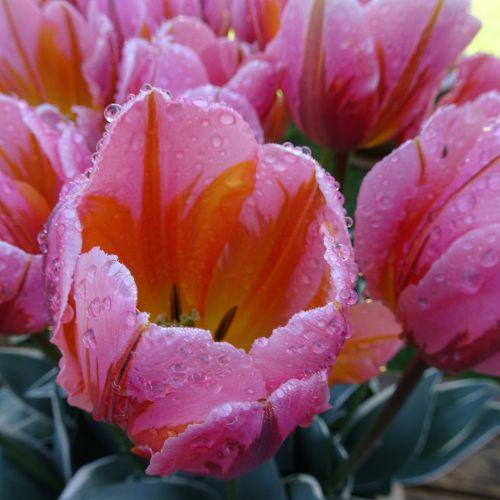 Wet Tulips