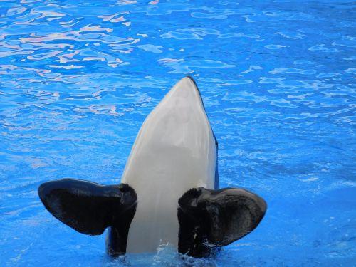 whale killer whale wild