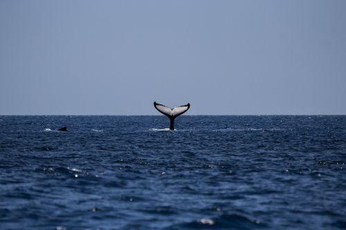 whale humpback humpback whale