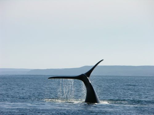 whale argentina patagonia