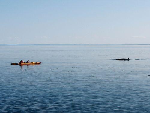 whale kayak nature
