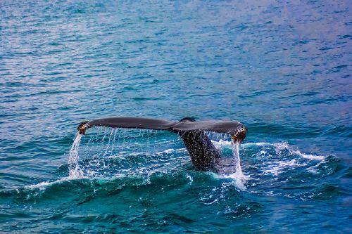 whale breach breaching