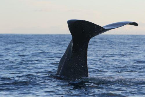 whale sperm whale dive