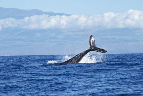 whales ocean diving