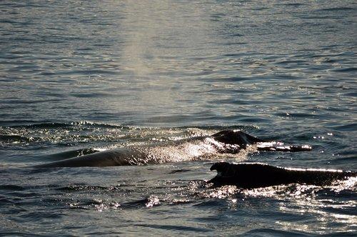 whales  sun  ocean