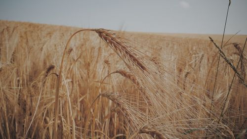 wheat field cereals