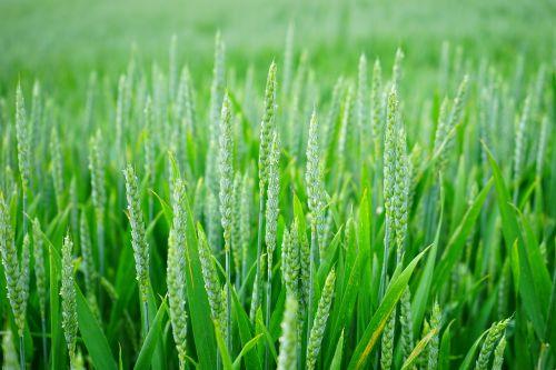wheat wheat spike wheat field