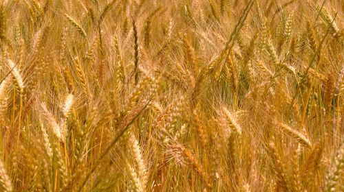wheat harvest morocco