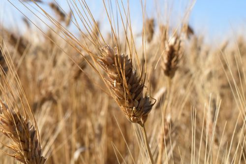 wheat durum wheat wheat field