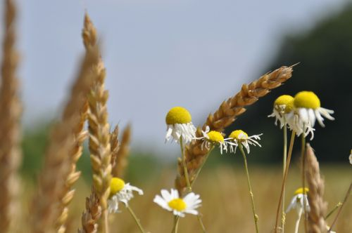 wheat fields chamomile