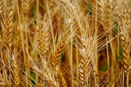 wheat fields cereals
