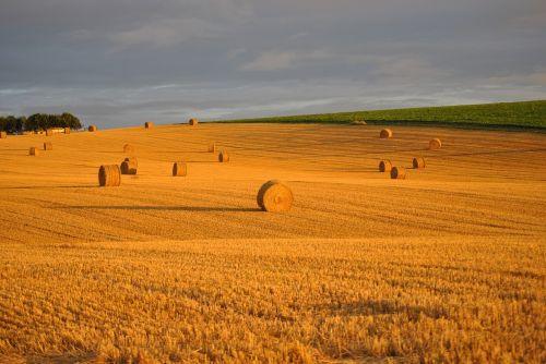 wheat field straw