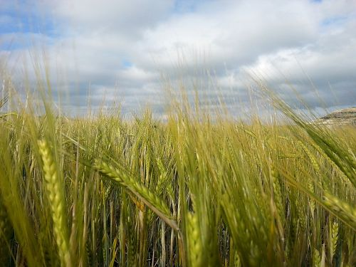 wheat cereals field