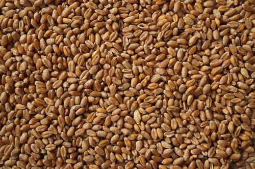 kvieciai,grūdai,grūdai,Žemdirbystė,derlius,fonas,auginimas,kaimas,grūdai,kukurūzai,tapetai,kolekcijos