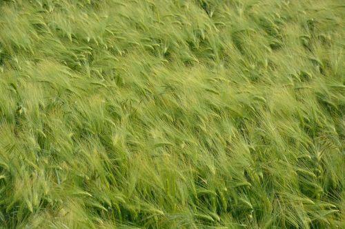wheat fields nature