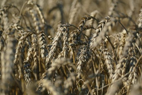 wheat agriculture cereals