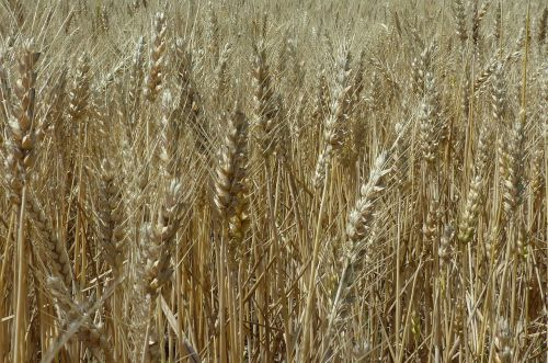 wheat,harvest,crop,grain,agriculture,field,seed,wheat field,farm