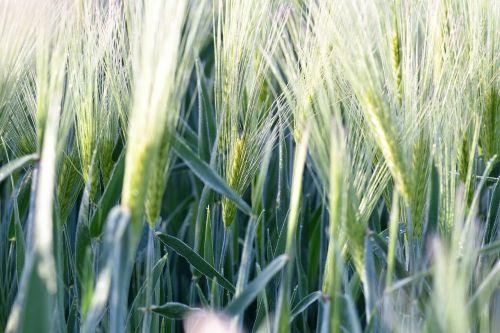 wheat field winter wheat