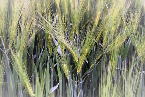 wheat winter wheat field