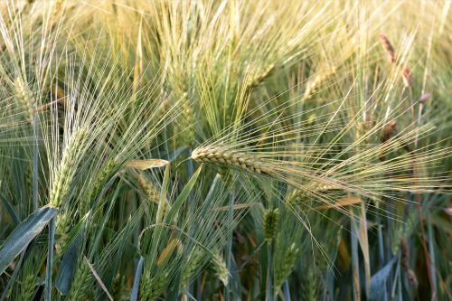 wheat winter wheat agriculture