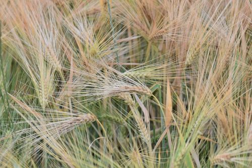 wheat winter wheat cereals