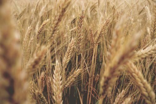 wheat go summer