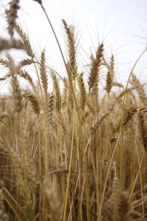 wheat travel taiga