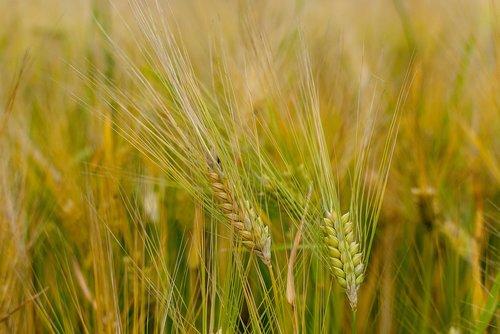 wheat  epi  cereals