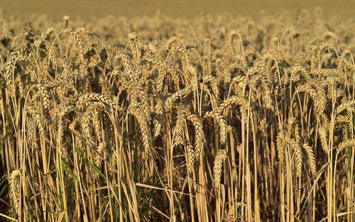 kvieciai, rugių laukas, pobūdį, Žemdirbystė, laukas, vasara, grūdų, grūdai, kaimo, Niva, dirvožemis, maisto, spiglys, maisto produktas, augalų, geltona