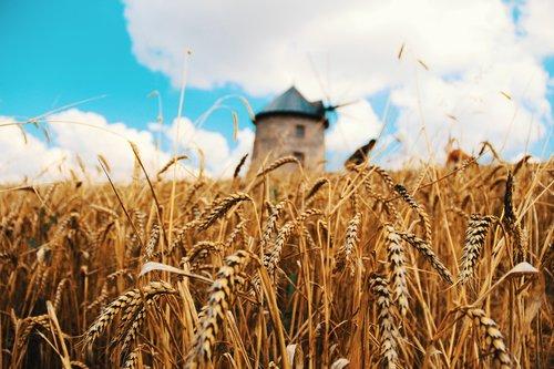 wheat  spike  grain products