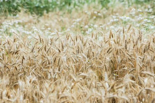 wheat wheat field cereals