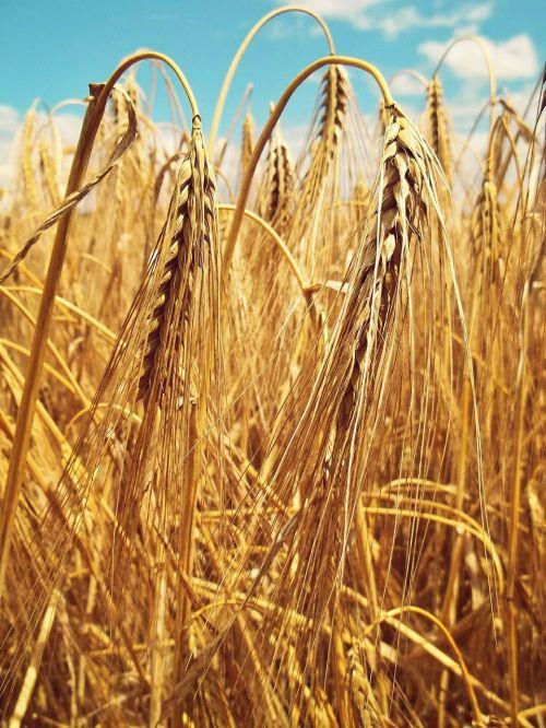 wheat spike wheat spike