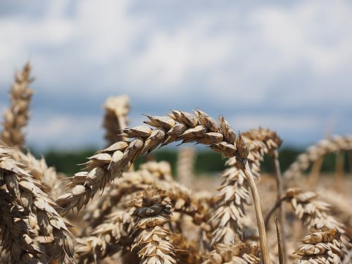 wheat spike cereals