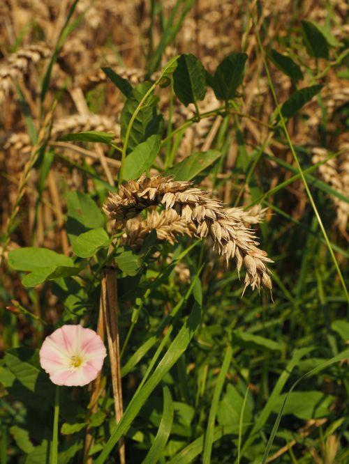 wheat field spike