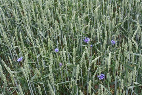 wheat summer field