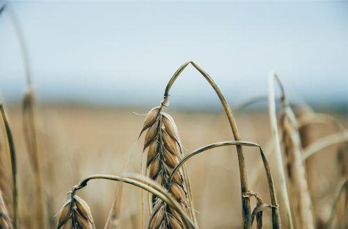 wheat plants fields