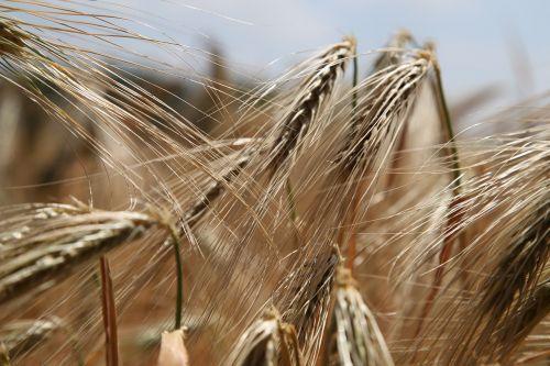 wheat wheat field rye