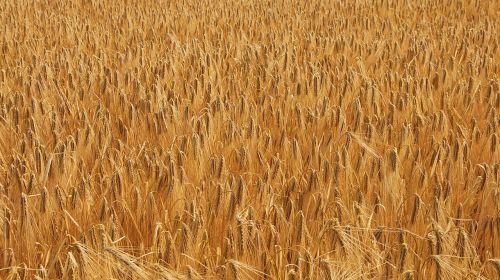 wheat cornfield field